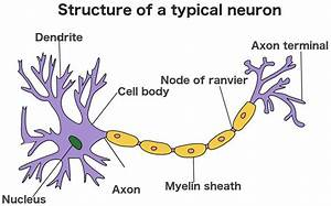 What Is A Synapse  What Is A Neurotransmitter  How Do They