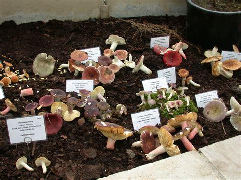 Pilze Botanischer Garten by Gro 223 E Pilz Ausstellung Botanischer Garten M 252 Nchen