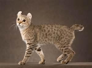 cat breeds az a z of cat breeds ali s answers