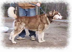 Giant Red Alaskan Malamute - Pics about space