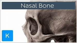 Nasal Bone - Anatomy  Function  U0026 Diagram