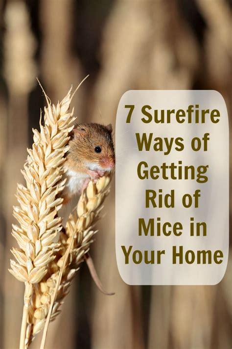 how to get rid of mice in house get rid of those bothersome mice without paying a