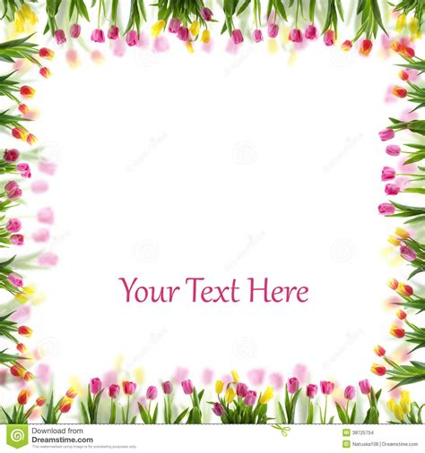 tulip flower spring border isolated  whit stock photo