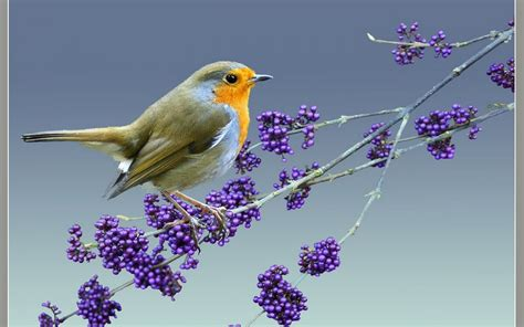 A Bird On A Branch With Berries Wallpapers And Images
