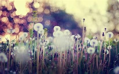 Dandelion Background Seeds Desktop Flowers Bokeh Wallpapers
