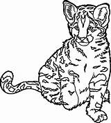 Coloring Wild Cat Realistic Cheetah Animal Ocelot Drawing Printable Colouring Outstanding Cartoon Getcolorings Extraordinary Cool Phoenix Sheets Fresh Colour Clipartmag sketch template