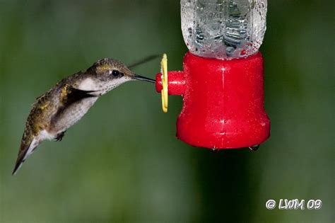 ruby throated hummingbird on small feeder butterfly and