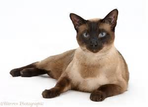 seal point cat seal point siamese cross cat photo wp31533