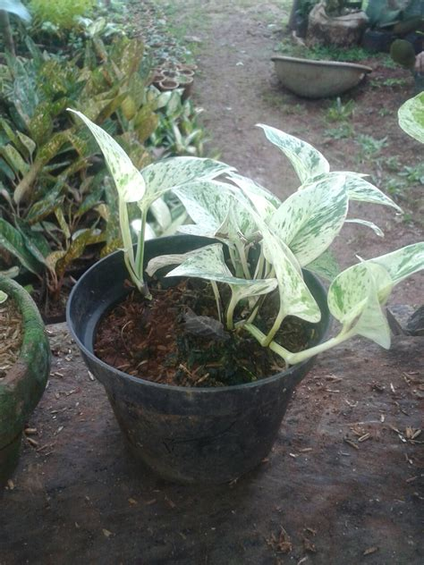 jenis tanaman hias cocok ruangan tukang