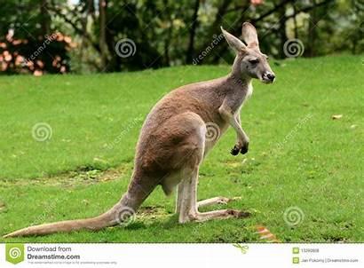 Kangaroo Royalty Zoo Wildlife Dreamstime