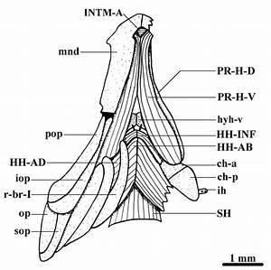 Ventral View Of The Ventral Cephalic Musculature Of Danio