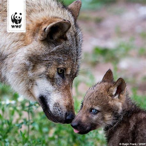 der wolf lebt gefaehrlich bei uns  deutschland insgesamt