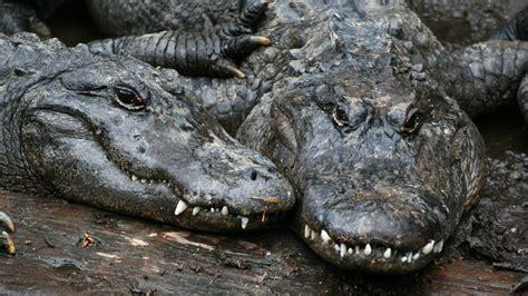 florida alligatoren fallen ueber leiche eines mannes