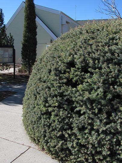 pini da giardino abete argentato non considerato tipicamente tra i pini