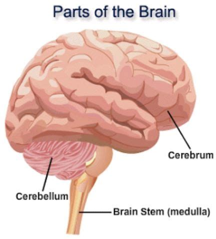 3 Sections Of The Brain by What Are The Three Major Parts Of The Brain And Each