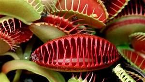 Venusfliegenfalle Pflege Haltung : fleischfressende pflanzen pflegen ratgeber garten zimmerpflanzen ~ Watch28wear.com Haus und Dekorationen