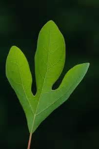 Sassafras Tree Leaves Identification