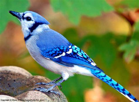 a blue jay visits the backyard bird baththe locust fork