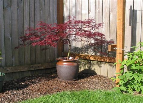 best japanese maples for containers image gallery japanese acer in containers