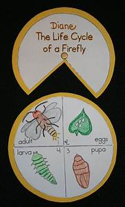 Life Cycle Stages Of A Firefly