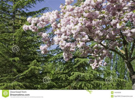 flowering cherry tree scientific name ornamental cherry royalty free stock photo image 14043535