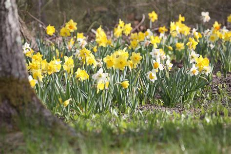 best daffodils for naturalizing longfield gardens