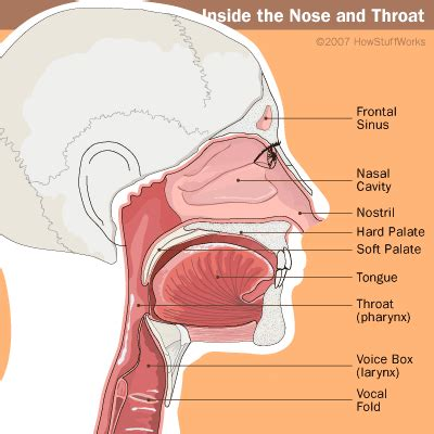 Nasal Airflow Diagram by Why Do We Sneeze Unzip Your Genes