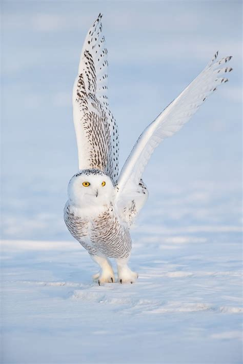 40 white snowy owl pictures from the house of gandalf