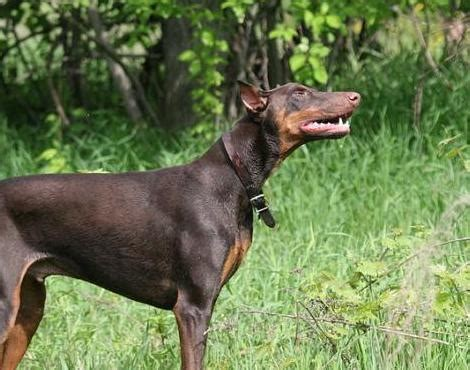 picture    doberman pinscher pictures images