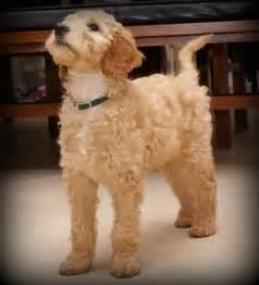 Irish Setter Poodle