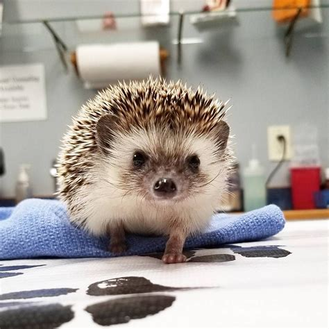 animal jobs    hedgehog animals hedgehog  pets