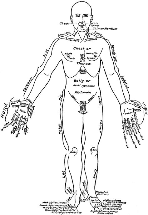 Diagram Of Part Of Human by Front View Of The Parts Of The Human Labeled In