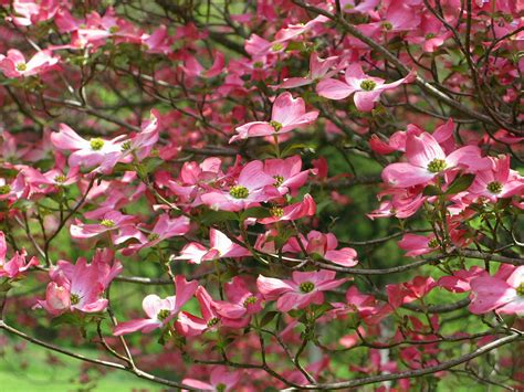 pink flowering trees muzak the one and only living in pink world