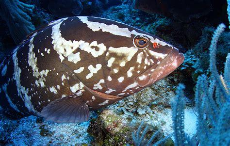 grouper fish yellowfin pc bonny wallpaperlepi harvey guy