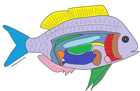the anatomy of a bony fish