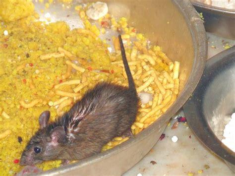 rat au curry photo