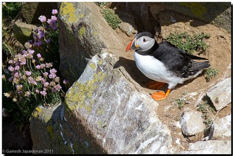 atlantic puffin fratercula arctica in habitat flickr