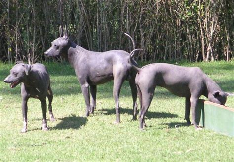 Rat Terrier Mix Shedding by Xoloitzcuintle Wikipedia La Enciclopedia Libre