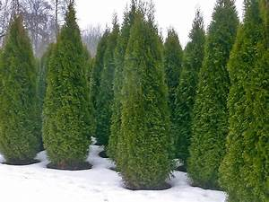 Thuja Smaragd 100 Cm : thuja occidentalis smaragd co5 10 100 120 cm thuja planet as ~ Orissabook.com Haus und Dekorationen