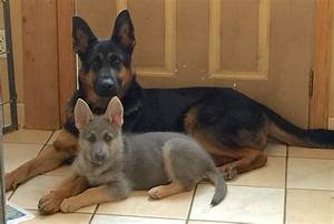 Blue powder German shepherds for sale