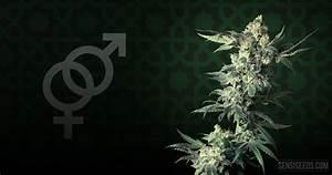 Cannabis strain focus: Northern Lights® from Sensi Seeds