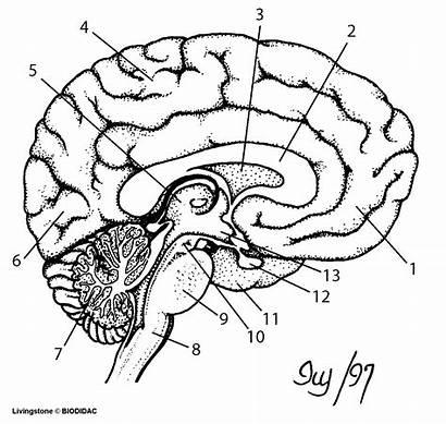 Brain Diagram Blank Labeled Anatomy Nervous System