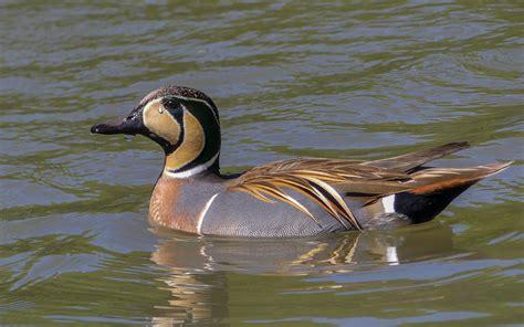 Baikal Teal Audubon Field Guide