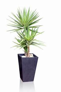 Entretien Plante Verte : yucca tous les conseils d 39 entretien ~ Medecine-chirurgie-esthetiques.com Avis de Voitures