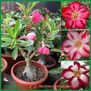 Adenium Desert Rose--house Plant - Buy Desert Rose,Adenium ...