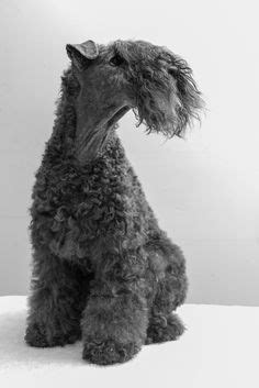 129 Best Kerry blue terriers images   Terrier, Dogs, Dog