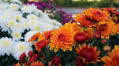 chrysanthemums   plant mums   farmers almanac