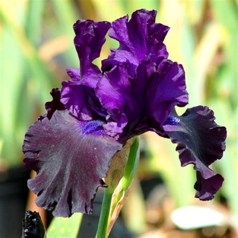 do irises need sun do irises need sun 28 images top15 low pollen flowers part 1 sinussister reblooming