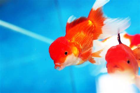 poissons d aquarium eau chaude poisson aquarium eau de mer froide images