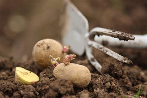 kartoffeln wann pflanzen kartoffeln pflanzen tipps zum anbau der erd 228 pfel